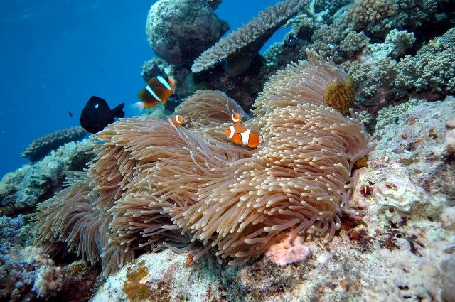 clown-anenome-fish