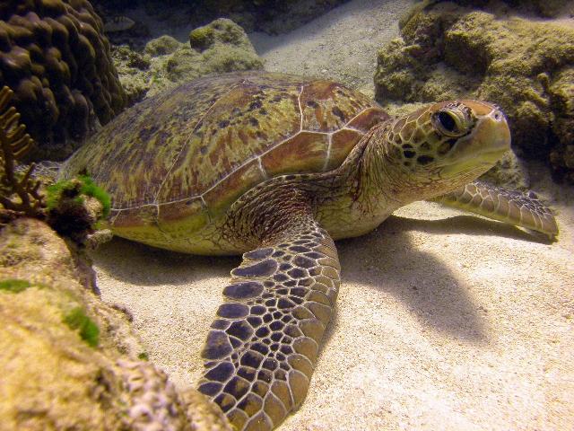 green-turtle-1