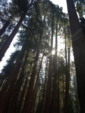 sequoia006