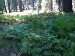 sequoia011